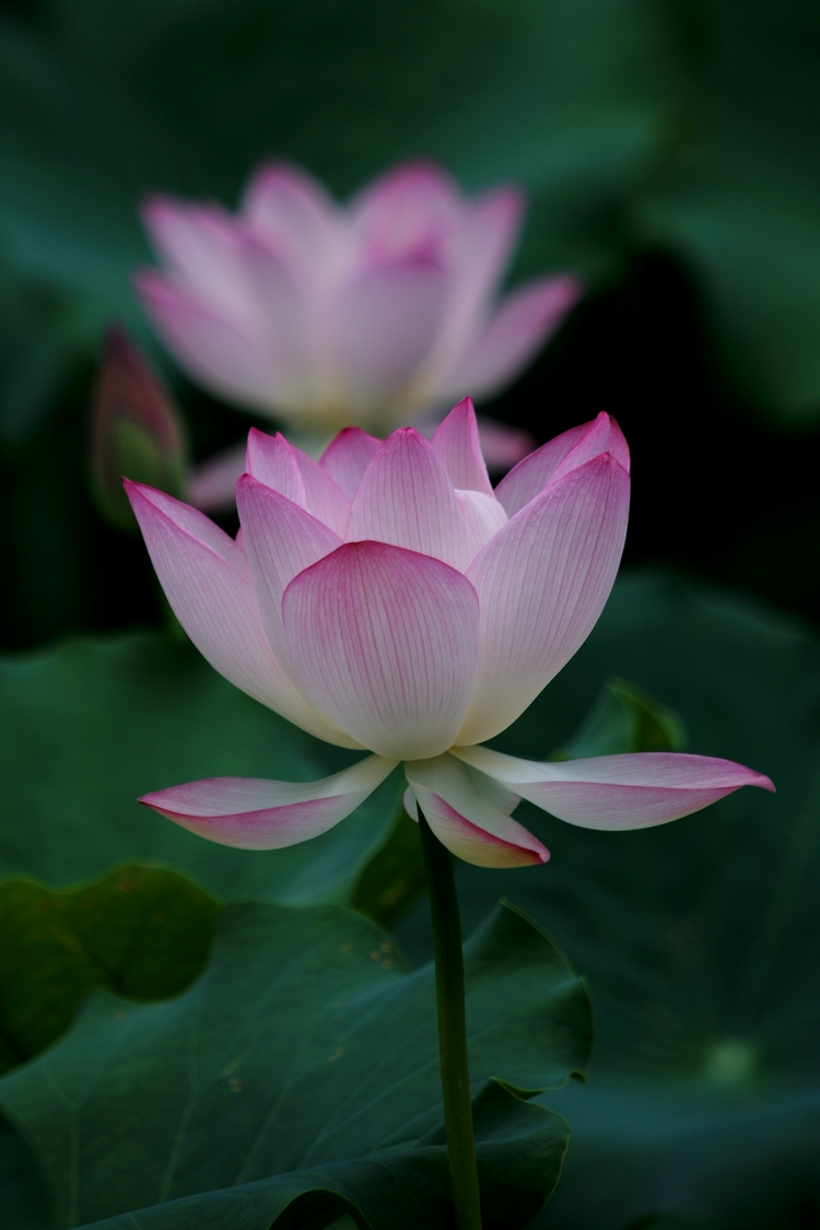 Shooting Tips For Summer Lotus Photos Canon Hongkong Company Limited